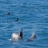Spinner Dolphins playing