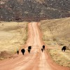 Chasing cows down the road in the Canyonaro!